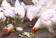 chickens antibiotics