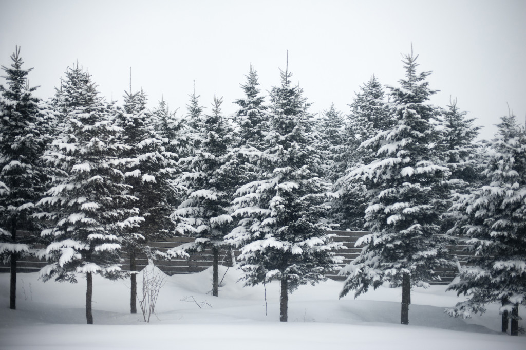 a row of snow covered conifers